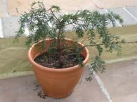 Two Developing Fir Trees for ONLY A Few Pounds