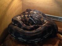 Carpet python and set up