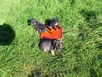 x bred pups