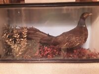 Antique taxidermy Specimen of a Pheasant.