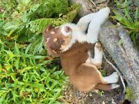 Stunningly Marked Border Collie Boy Puppy.