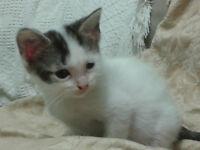 Cute bengal X kittens