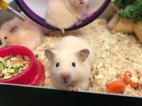 Cream hamsters