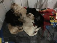 Male Cockapoo puppies for sale