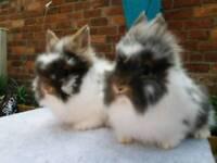 Pure lionhead rabbit babies