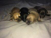 Chihuahua X shorkie