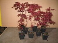 Japanese maples Acer palmatum Bloodgood