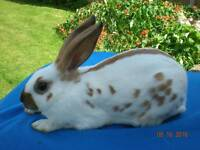 English rabbits