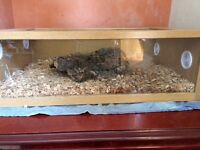 10month old pastel butter royal python with viv £150 ovno