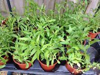 Dianthus Plants £1 each 10 left