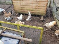 8 Chickens for sale