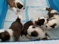 K.C Registered st Bernard puppies