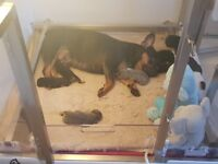 Litter of 5 Quality French bulldog puppies