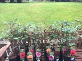Last 3 Left. Peony Trees in all different colours. Lovely and established. £30 each now