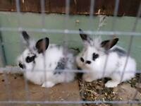 Baby Lion head bunnies - Male - Two to choose from £20
