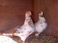 garden doves