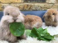 Beautiful baby min lion lop buck ready to reserve