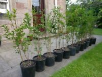 Privet Hedge Plants x25 up to 8m hedging