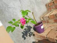 Rose plant in a pot