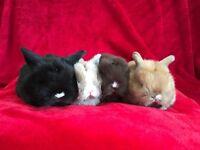 Mini lop rabbit bunnies!