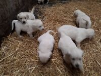 White Retriever Puppies for Sale