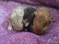 Guinea pigs for sale ready 8th July