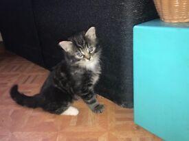 Gorgeous tabby kittens!!