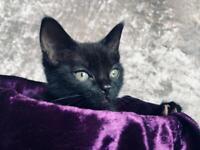 Beautiful Black Female kitten for sale (8 weeks old)