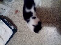 Two male 10 week old black and white kittens for sale, would like them to stay together.