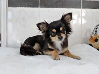 Long Haired Chihuahua Female - 3 years old - Pedigree - Vaccinated - Spayed - Ideal family pet