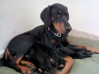 dobermann pups ready to leave