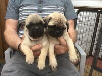 3/4 Pug Puppies for sale-2 boys
