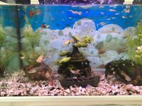 Baby and young guppies for sale