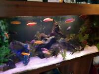 CICHLID TANK CLEAROUT