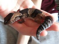 Gecko African fat tail female 1 yr old, includes vivarium and heat mat