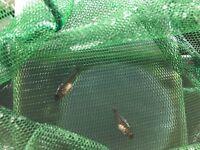 Fish for sale Malawi Cichlid