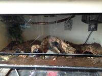 Royal python ball python snake and 3ft vivarium