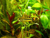 Five amazing young Cockatoo Cichlids (Apistogramma Cacatuoides), 2 Males and 3 females, for sale