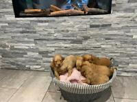 Fox red & apricot Labradoodles puppies