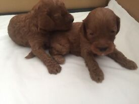 Beautiful F1b Red Cockapoo Puppies, Family home reared.