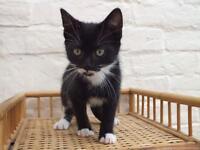 Last beautiful kitten for sale