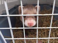 Ferret found!!!!
