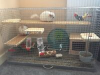 Two Brother Chinchillas with cage and multiple accessories