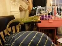 3 year old female iguana