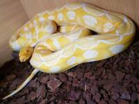 7ft male reticulated python
