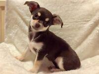 3 Beautiful KC Registered Chihuahua Pups