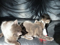 1 male bengal kitten (melanistic) READY to TAKE HOME