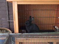 Rabbit + Hutch + Run + Indoor cage