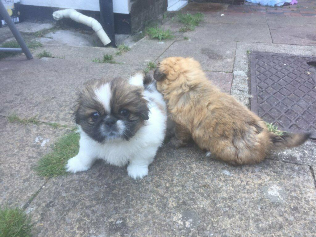 2 lovely female Pekingese puppies for sale in littlehampton   in  Littlehampton, West Sussex   Gumtree
