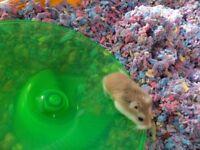 roborovski hamster with habitrail ovo cage